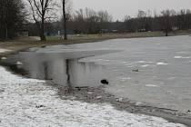 Přestože venku pořádně přituhlo, vodní plochy v Přerově zatím zamrzlé nejsou. Ledová krusta pokryla jen plochu velké a zčásti také malé laguny. 6. února 2021