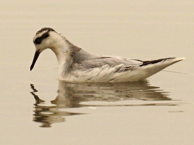Ornitologové jásají. Na tovačovský Hradecký rybník zabloudil velmi vzácný lyskonoh ploskozobý, který se v České republice objevuje jen ojediněle.