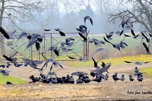 Havrani a další ptáci na polích u Brodku u Přerova