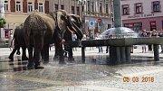 Promenáda slonů v ulicích Přerova vyvolala rozruch. Sloni zablokovali dopravu na rondelu a pojídali okrasné keře.