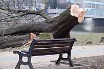 Kácení javorů na nábřeží Edvarda Beneše v Přerově