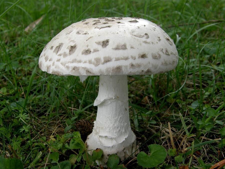 Muchomůrka šiškovitá – vzácná teplomilná houba, rostoucí v okolí Přerova.