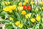 Tulipány v Brodku