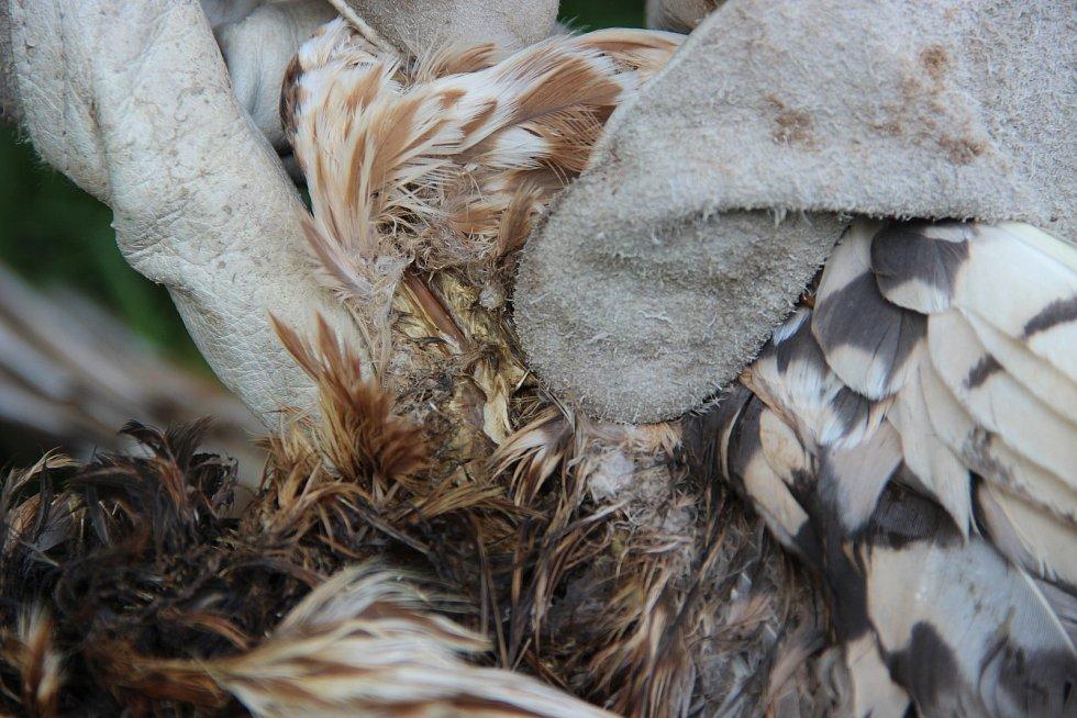 Na polích u Kojetína našli několik mrtvých dravců, kteří uhynuli pravděpodobně na následky střelných poranění