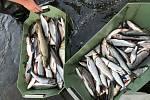 Úhyn ryb na řece Bečva v okolí hustopečského mostu v neděli 20. září odpoledne.