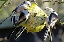 Sčítání ptáků na krmítkách se stalo vyhledávanou zábavou - mlynařík dlouhoocasý