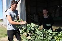 Na devět desítek brigádníků pomáhá v těchto dnech se sklizní chmele Zemědělskému družstvu v Kokorách. Práci na česačce si vyzkoušel i reportér Přerovského a hranického deníku.