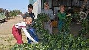 Česačky na chmelnici v Kokorách už se rozjely