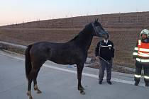 Odchyt koně na dálnici u Stříbrnic