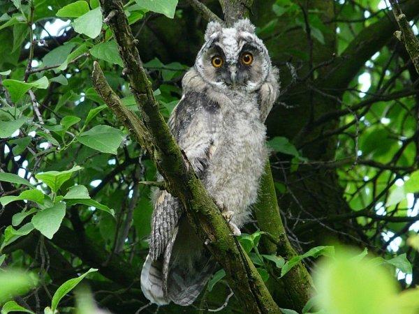 Vposledních dnech se na členy Moravského ornitologického spolku vPřerově obracejí lidé sdotazem, co je to za ptáky, kteří vnoci hvízdají vokolí sídlišť. Jde omláďata sov – kalousů ušatých.