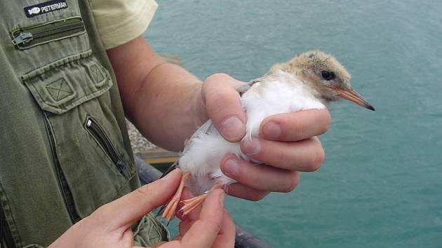 Ornitologové sčítali mláďata rybáků obecných, která hnízdí na Troubeckém jezeře.