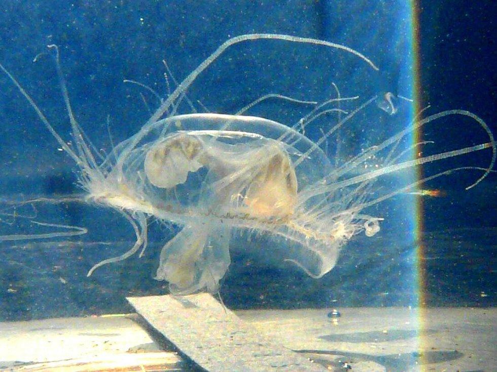 Medúzky sladkovodní objevili přerovští ornitologové v lomu ve Výklekách