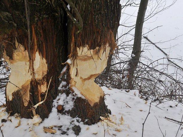 Ohlodané stromy od bobrů v lokalitě Malá laguna v Přerově