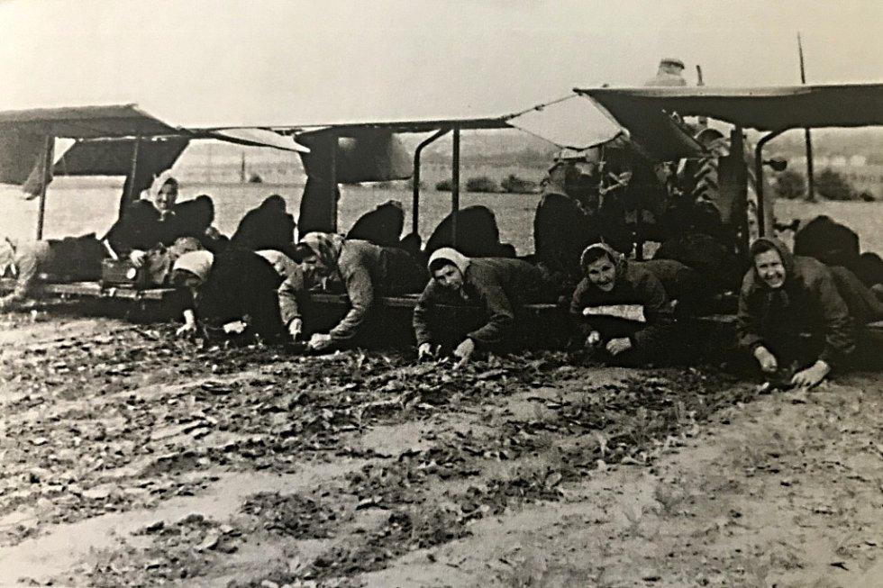 VINARSKÁ RARITA. Unikátním kouskem se mohlo chlubit JZD Viničná. Takzvaný babosed bylo zařízení na jednocení řepy. Snímek pochází z roku 1962.