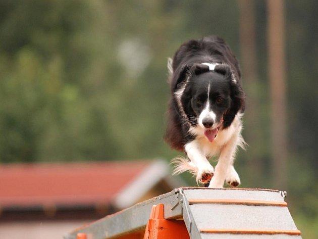 Na přerovském Výstavišti i na hradě Helfštýn se o víkendu předvedou psi všech možných plemen v dovednostních disciplínách.