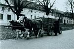 Kravský povoz, doprava řízků řepy z cukrovaru na Chmelínek. Fotografie byla pořízena přibližně v šedesátých letech 20. století.