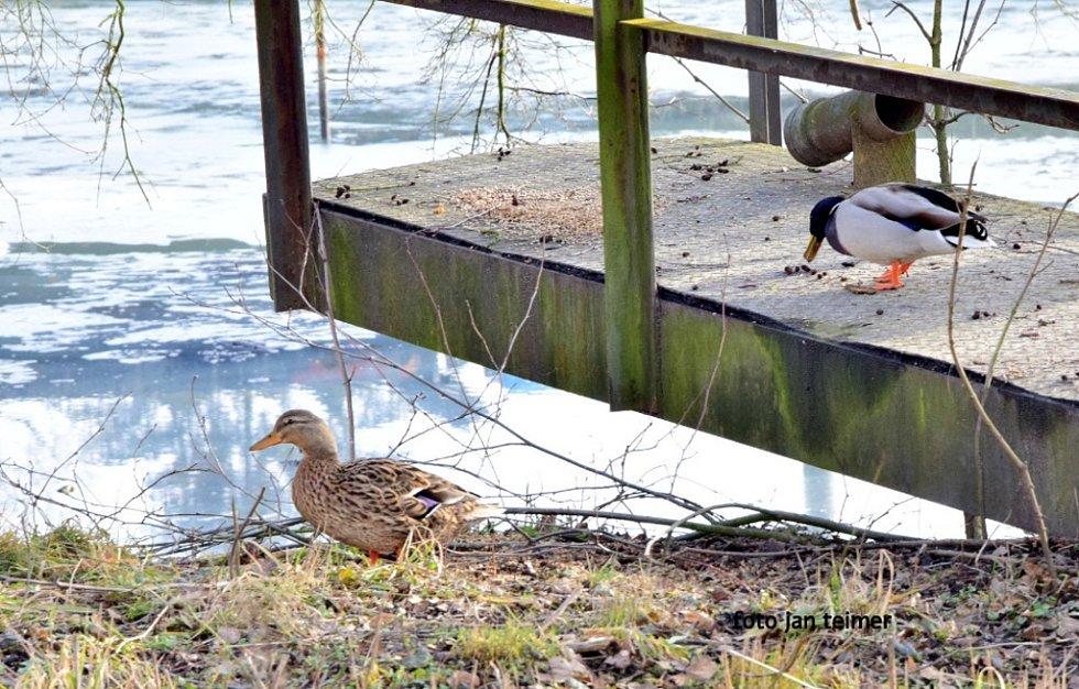 Divoké kachny na rybníku v Brodku u Přerova.