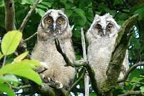 V posledních dnech se na členy Moravského ornitologického spolku v Přerově obracejí lidé s dotazem, co je to za ptáky, kteří v noci hvízdají v okolí sídlišť. Jde o mláďata sov – kalousů ušatých.