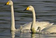 Labuť zpěvná, které dali přerovští ornitologové jméno Zpěvanka, i letos zahnízdila a má čtyři mláďata.