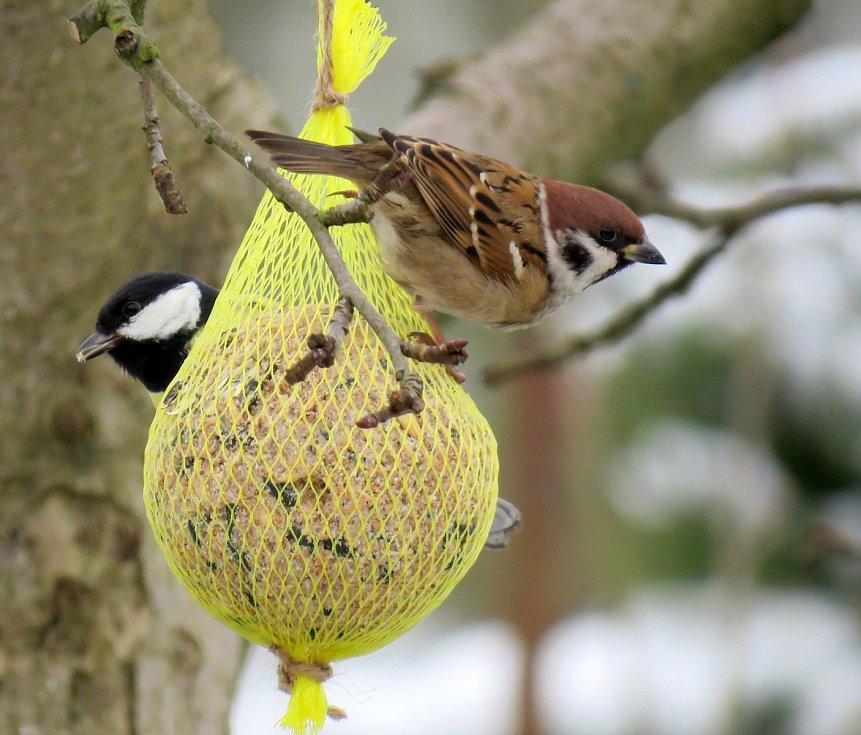 Sčítání ptáků na krmítkách se stalo vyhledávanou zábavou - vrabec polní