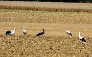 Čápa černého mohli lidé pozorovat na polích u Brodku u Přerova