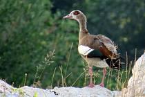 Vzácná husice nilská se zabydluje i v České republice.