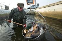 Kapři na sádkách rybářství Tovačov.