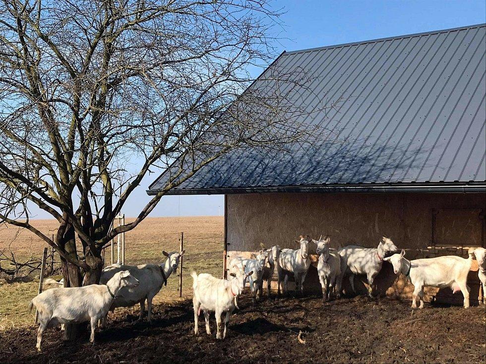 Na farmě v Pavlovicích u Přerova se starají o padesát koz a krávu plemene jersey.