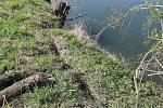 Bobři ničí cyklostezku Bečva a zavinili i sesuvy půdy.