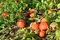 V Brodku u Přerova pěstují dýně hokaido ve velkém.