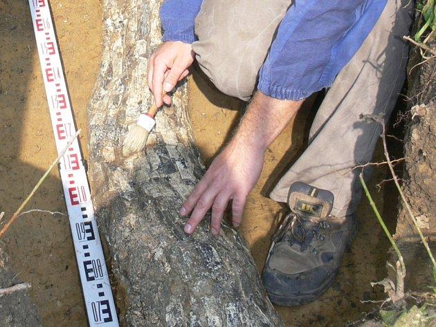 Dvoumetrový mamutí kel.