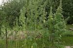 Na Hranicku chytili dealera drog, na zahradě našli desítky rostlin konopí