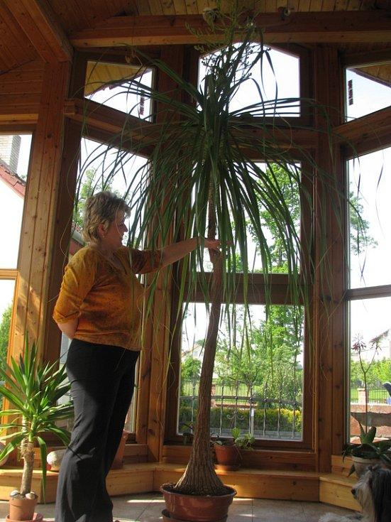 Alena Jestřebská ukazuje, jak vysoká byla její tropická květina před jedenácti lety, když si ji přinesla domů. Dnes je její výška dvojnásobná.