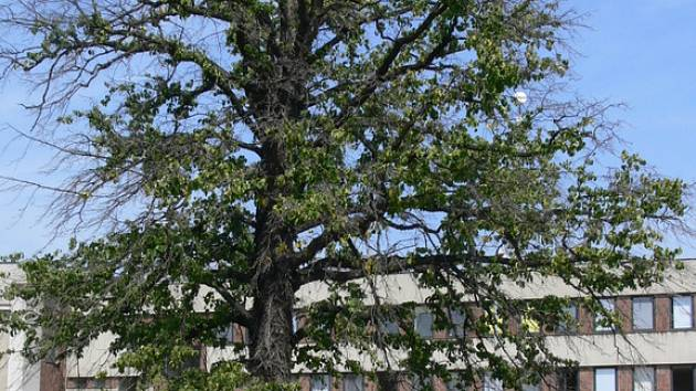 Památný strom chřadne.