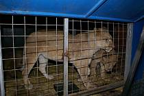 Hořící přívěs převážel čtyři lvy a jednoho tygra.