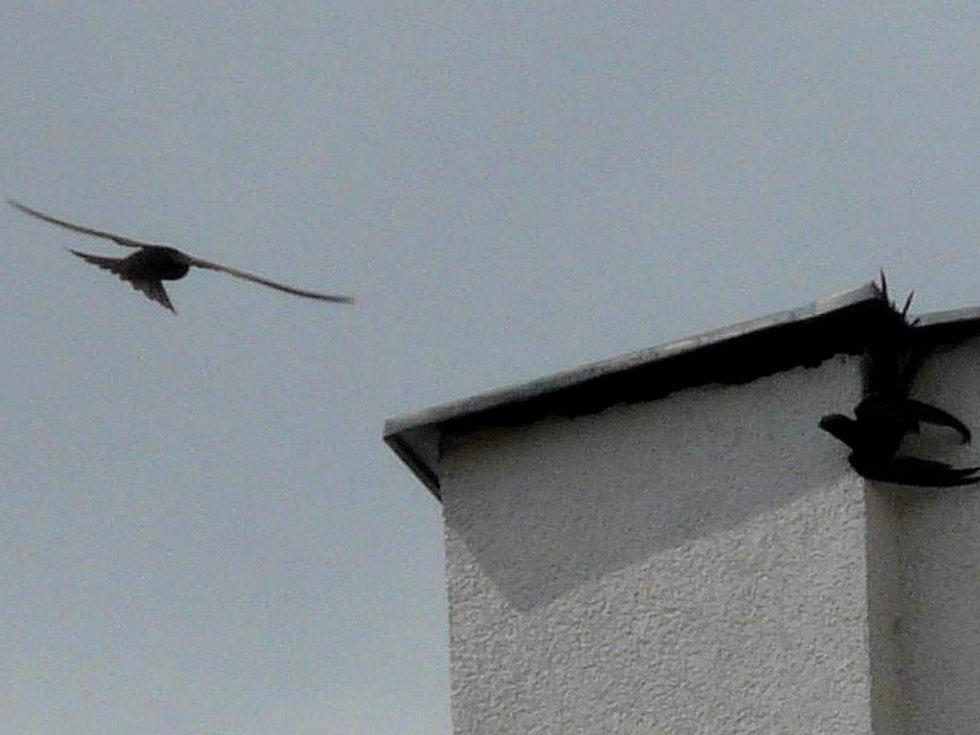 Rorýsi jsou v důsledku rekonstrukcí budov a rozsáhlému zateplování paneláků přicházejí o svá hnízdiště. Na snímku jsou ptáci přilétající k hnízdu pod oplechováním střechy budovy v ulici Za Mlýnem v Přerově.