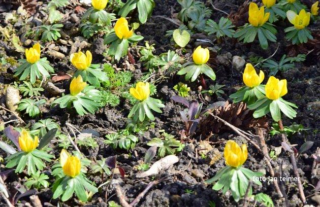 První jarní květy vBrodku uPřerova, březen 2021.