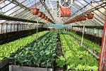 O sta tisíce zeleninových přísad, balkonových i záhonových sazenic květin či bylinek se v těchto dnech starají ve sklenících hranického zahradnictví Petra Macháně.