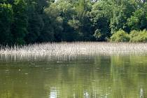 Loni byl rybník celý zarostlý vodními rostlinami Letos se zde nedaří ani orobinci, což je rostlina vyskytující se na březích stojatých vod.