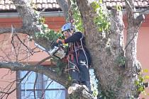 Kácení javorů u schodiště směrem na Šromotovo náměstí v Hranicích
