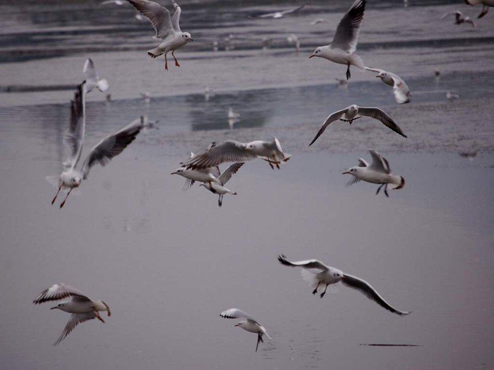 Výlov rybníka Choryně Velká u Hustopeč nad Bečvou