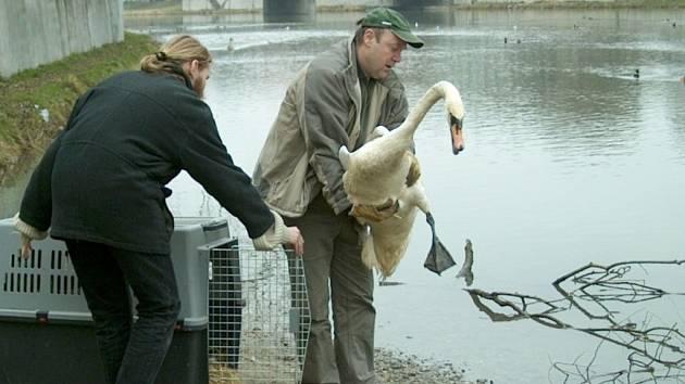 Labutě byly vypuštěny na svobodu.
