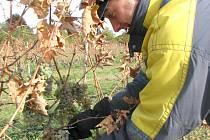 Z jednoho hektaru sklidili domamysličtí vinaři hned tři odrůdy.