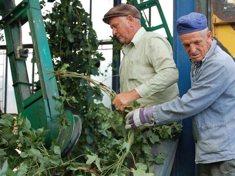 Sklizeň chmele zahájili zemědělci z Moravské zemědělské společnosti v Prosenicích.