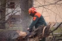 Letos potřetí a naposledy mizí staré stromy z aleje u zámku v Dřevohosticích.