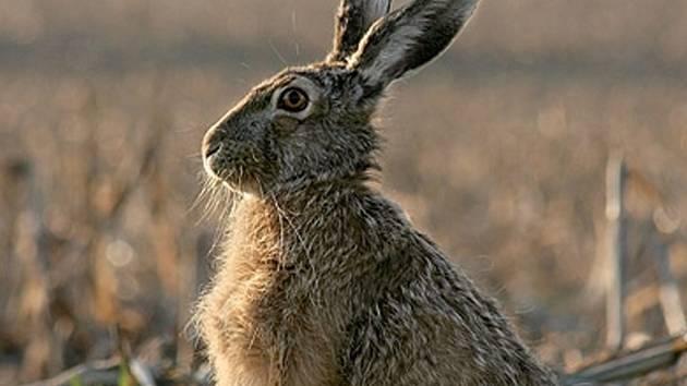 Zajíce polního mohou myslivci lovit od 1. listopadu.