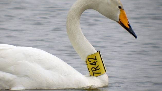 Labuť zpěvná se značkovacím límcem.