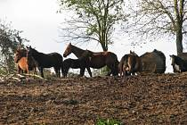 Koně v Býškovicích. Podle některých obyvatel dochází k týrání těchto zvířat