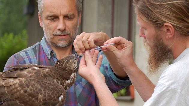 Zcela vysílený a hubený včelojed lesní se dostal do rukou ornitologům z Přerova