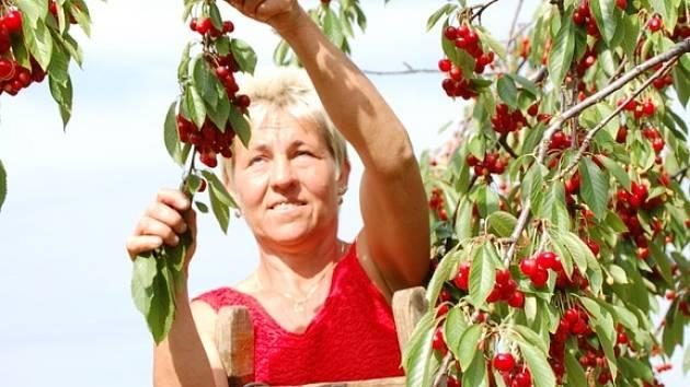 """""""Úroda je slabší než loni,"""" tvrdí sadaři ze Zemědělského družstva Podhradí v Týně nad Bečvou."""
